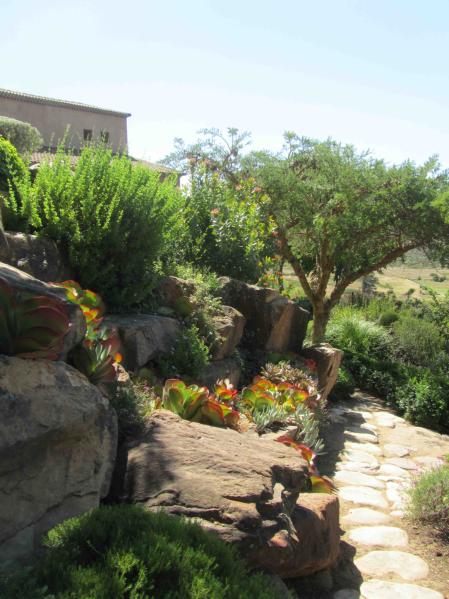 The bold, vivid green and silver foliage of Kalanche thrsiflora, Cotyledon 'firesticks', Felicia, Coleonema and Geraniun incana set amongst contrasting tones of granite rock